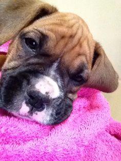 Baby Daisy boxer puppy