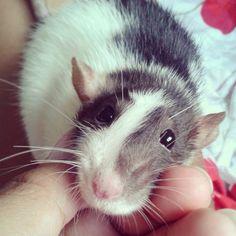 Rat enjoying some bonding time with his pet parent.