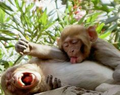 romance of monkey couples very funny picture