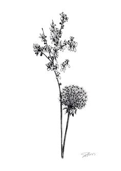 Dandelion illustration; Rotring pen. Copyright - Danielle Guess