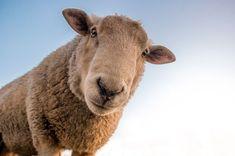 Soñar con ovejas según el contexto puede ser muy positivo dado que se relaciona con la prosperidad y la tranquilidad en nuestro hogar. Este animal también suele tener relación con... Farm Animals, Funny Animals, Cute Animals, Wild Animals, Animals Beautiful, Pull Camionneur, The Farm, Small Farm, Sheep Breeds
