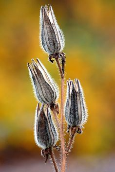 Seed Pods with Yellow