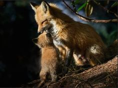 Photo: Mama fox gets a kiss