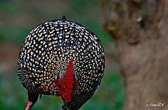 Preciosa imagen de las plumas y cresta del gallo Sonerati.