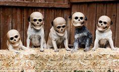 Scary pugs