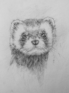 Pencil sketch of a pet ferret - he is very cute!