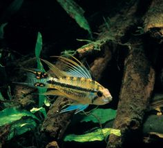 Apistogramma dwarf cichlids are not the type of fish you can just toss in your aquarium—there's a lot more to keeping these little beauties.