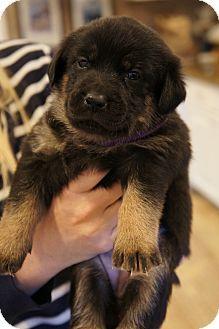 01/07/15-Los Alamitos, CA - Golden Retriever/German Shepherd Dog Mix. Meet Vixen, a puppy for adoption. http://www.adoptapet.com/pet/12215197-los-alamitos-california-golden-retriever-mix