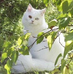 gato angora turco | razas de gatos | Petdarling.com