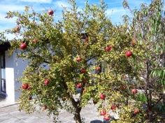 Pomegranate trees are among the most ornamental fruit trees. There are several ways to grow pomegranate trees in your yard. Fruit Garden, Garden Trees, Edible Garden, Back Gardens, Outdoor Gardens, Garden Spade, Organic Mulch, Garden Labels, Tree Images