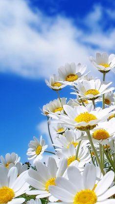 Daisies against a blue summer sky.