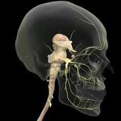 Academy of Chairside Assisting has something amazing coming Nerve Anatomy, Brain Anatomy, Medical Anatomy, Human Anatomy And Physiology, Body Anatomy, Craniosacral Therapy, Medicine Student, Cranial Nerves, Muscle Anatomy