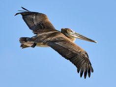 flying brown pelicans - Suncoast Bird Sanctuary