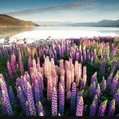 Lake Tekapo - Lupins, New Zealand  Found this on Flickr; artist is Mundoview