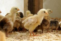 Chickens Are NOT Puppies: What to look for when choosing baby chicks at a feed store, market, etc.