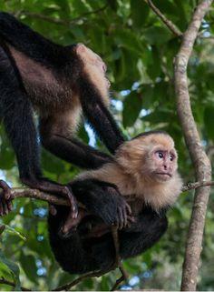 White-Faced Monkeys in Manuel Antonio National Park, Costa Rica >> cute little guys!