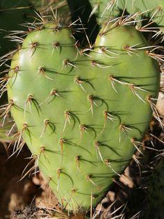 Prickly heart cactus