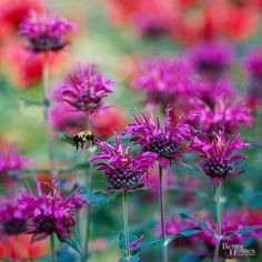 It's no surprise that Mondarda is commonly called bee balm. This vigorous perennial develops masses of sweet, crown-shape blooms that bees, butterflies, and hummingbirds flock to. Monarda thrives in full sun or partial shade and prefers slightly moist soil. Flower colors include red, pink, white, and lavender. The plants bloom from spring to fall and grow 2-4 feet tall, depending on variety. Select mildew-resistant varieties if you live in a warm, humid climate. Zones 4-9