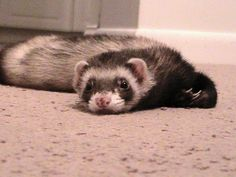 Bandit RIP, one of the sweetest ferrets ever.