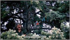 Abies concolor Slama - orig broom ... Type 3, Dandelion, Flowers, Theater, Plants, Outdoor, Facebook, Outdoors, Dandelions