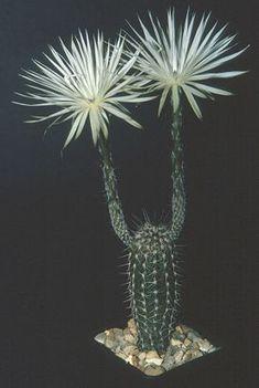 Setiechinopsis mirabilis - looks like a cheerleader, lol.                                                                                                                                                                                 More