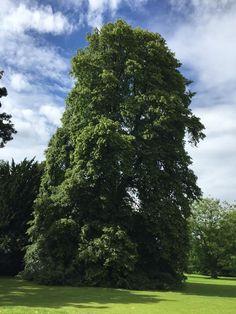 Mature weeping lime, Tilia tomentosa petiolaris #weeping