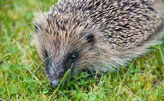 Save The Hedgehogs! U.K. Creates its First Hedgehog Sanctuary