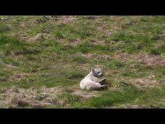 #Siku the baby #polarbear is feeling itchy.