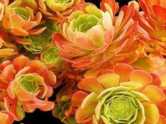 Aeonium 'Blushing Beauty' - Blushing Aeonium