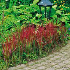Imperata cylindrica - Alang-Gras 'Red Baron' - Japanisches Blutgras - Japansk blodgræs