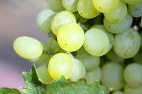 Le blog de jecreemacave: Chardonnay: le cépage roi!