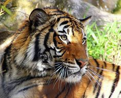Tiger di lya von falkenstein