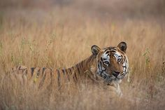 King of the jungle. by Marc Graf on Bengal Tiger, Morning Light, Big Cats, Habitats, Creatures, King, Nature, Photography, Animals