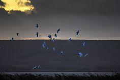 all'Idrovora tra Cabras e Nurachi - 10 Ott.2015 circa ore 18:00 - foto Guido Frilli #guidofrilli - Nikon D750 + Tamron 160/600 mm. f/5-6.3 - f/6.3 1/2500 sec. ISO 2800 a 600 mm.
