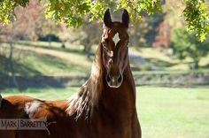 Saddlebred Horse