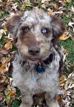 Aussie Doodle. I want one.