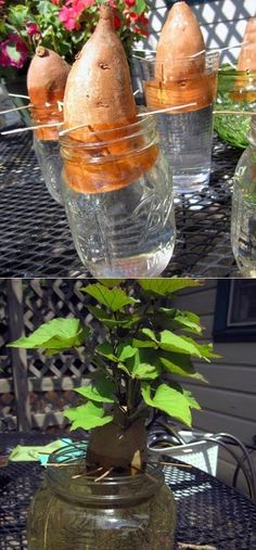 Starting sweet potato slips There are a number of plants which you can throw away after eating, not knowing they can be re-grown in the most easy of methods, this is a very fun to try at home. Reduce waste and save money with this handy guide to growing real food from scraps. #plants #kitchenscraps #DIY #garden #grown