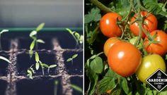 Guide to Growing Cherokee Purple Tomatoes - Gardening Channel Growing Tomatoes, Growing Vegetables, Pickled Eggplant, Tomato Fertilizer, Cherokee Purple, Varieties Of Tomatoes, Hydrangea Garden, Tomato Garden, Edible Garden