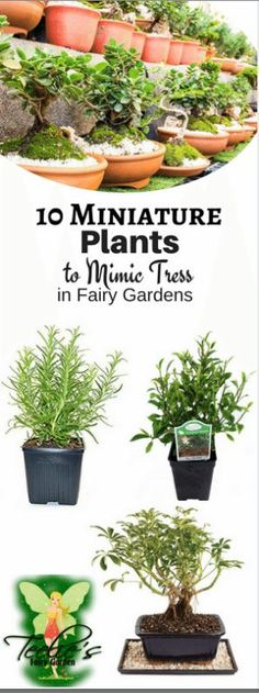 10 Miniature Plants to Mimic Trees in Fairy Gardens. www.teeliesfairygarden.com . . . Spring is the perfect time to grow plants and flowers. Now is also the best time to make real fairy gardens. If it's your first time to get into it, you might want to check out my list of miniature plants that can mimic trees in your fairy garden. #fairyblog