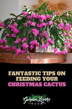 Succulent Gardening, Cacti And Succulents, Planting Succulents, Planting Flowers, Vegetable Gardening, Indoor Gardening, Christmas Cactus Plant, Easter Cactus, Christmas Flowers