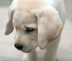 Louie the Yellow Lab