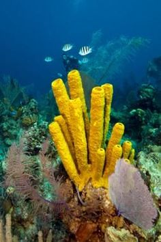 invertebrate research stove pipe sponge Common sponges of the cayman islands  mation regarding cayman sponge species is de­ rived from research performed on  common brown tube or stove-pipe sponge.