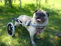 How can you not love Pug smiles? Pepper shows off her dog wheelchair