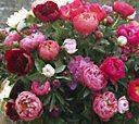 Robertas 3-pc. Bounty of Blooms Victorian Peony Collection — QVC.com#vidPlayerHolder560x315