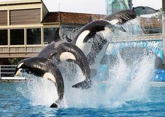 Jumping Orcas  - San Diego