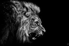 angry lion | Tumblr