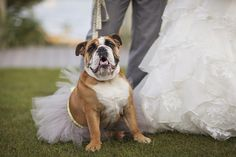 pictures of bulldogs in wedding outfits | English Bulldog Halloween Costumes