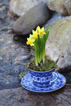 Decorative ideas with daffodils invite the spring into the house - fresh ideas for the interior, decoration and landscape - Daffodil decoration ideas in Feng Shui style in a cup - 32 Cool, Rock Garden Plants, Spring Bulbs, Blue And White China, Welcome Spring, Daffodils, Daffodil Bulbs, Spring Flowers, Houseplants