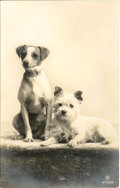 Jack Russell or Fox Terrier w Precious Collar N Westie Dog Old Photo Postcard | eBay