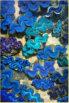 Blue-Lipped Clam.